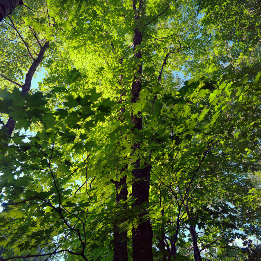 Picture of Green Leaves, Duluth, Minnesota, July 2020