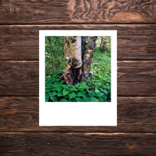 Picture of Torn Birch - Everyday Print