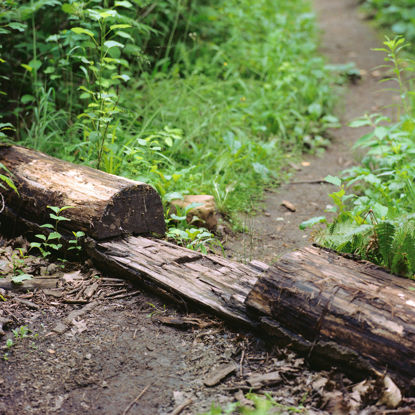 Picture of Footpath Cut Through a Log, Duluth, Minnesota, July 2020